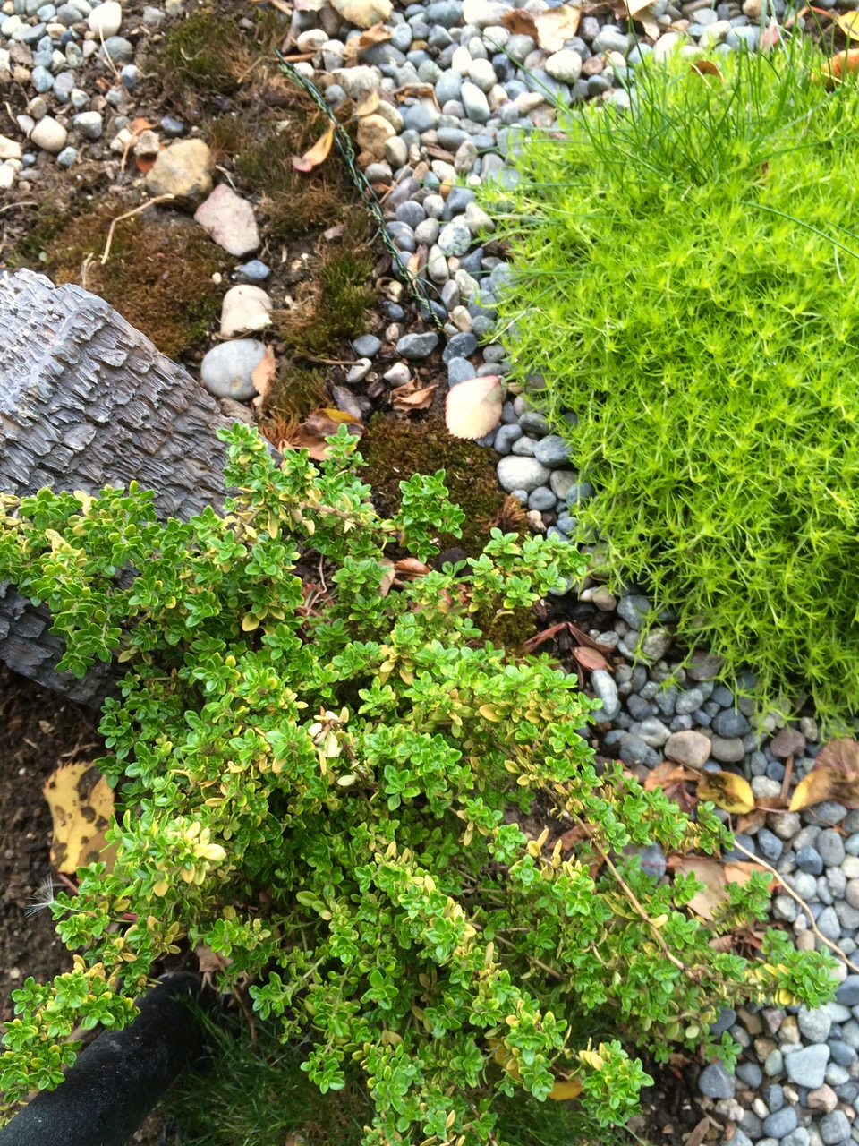 Thyme and Scotch Moss grow in the village.